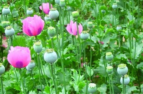 颜色革命是罂粟花结出罪恶果实