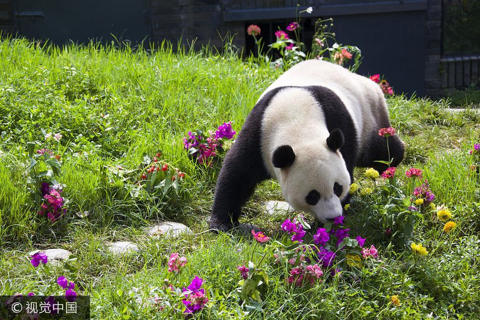 """海归大熊猫庆生 享超大""""竹蛋糕"""""""